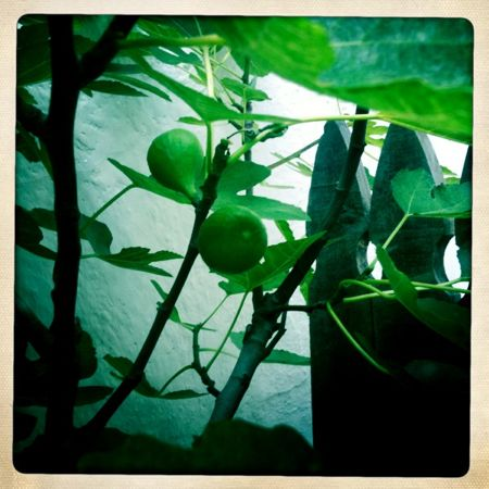 Anticipating guests, hoping for sun on the fig